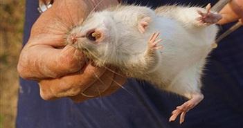Tiết lộ thú vị chuột đồng, đặc sản truyền đời Đình Bảng