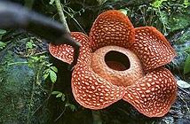 Bông hoa xác thối lớn nhất thế giới nở tại Indonesia
