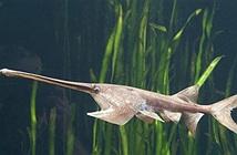 Cá kiếm sông Dương Tử được cho là đã tuyệt chủng