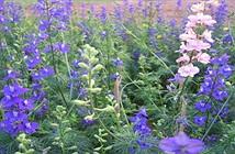 Kỹ thuật trồng hoa violet nở đúng dịp Tết chỉ vài bước đơn giản