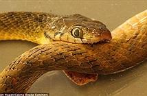 Nguyên nhân loài rắn ăn đuôi để tự sát được hé lộ