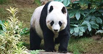 Lý giải bộ lông màu đen trắng của gấu trúc