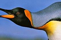 """Các nhà khoa học phát hiện chim cánh cụt thực sự """"nói chuyện"""" dưới nước"""