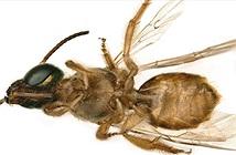 Phát hiện con ong nửa đực, nửa cái