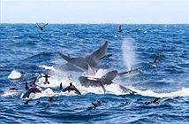 Cá voi xanh 16m bị 70 cá voi sát thủ truy sát và hủy diệt