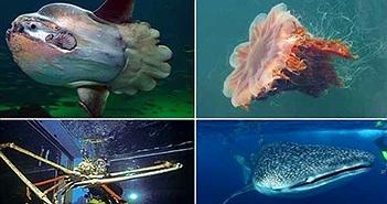 """Những loài động vật nào """"khủng"""" nhất dưới đại dương?"""