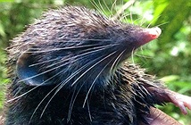 Phát hiện loài chuột chù có xương sống khoẻ nhất trong động vật có vú