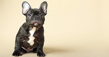Thực tại đáng buồn mà chó Bull Pháp đang phải chịu đựng