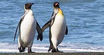 Đôi chim cánh cụt nắm tay nhau đi trên biển gây bão mạng