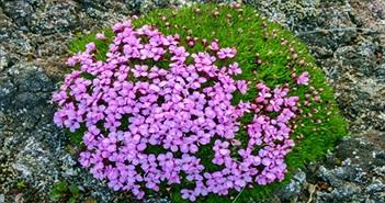 Bí ẩn loài hoa 300 năm ở Bắc Cực
