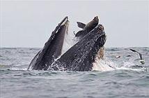 Ngoạn mục cá voi lưng gù trêu đùa, hải cẩu thót tim vì sợ