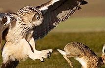 Video: Cận cảnh cuộc săn mồi của loài chim ăn thịt lớn và nguy hiểm nhất