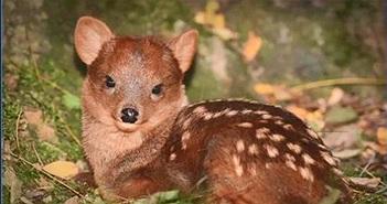 """Video: Cận cảnh loài hươu pudu có thân hình """"bé hạt tiêu"""", chỉ cao hơn 30 cm"""