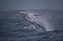 Cá voi phá sóng liên tục ngày mưa bão gây bàng hoàng