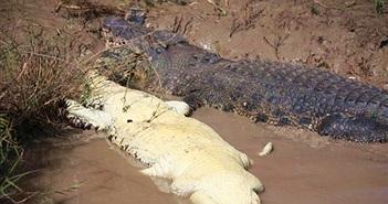Chứng kiến cá sấu khổng lồ ăn thịt đồng loại, du khách tái mặt...
