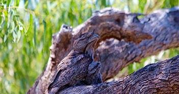 Video: Cú miệng ếch tinh ranh ngụy trang cành cây rồi đánh úp con mồi