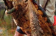 Bắt được rùa cá sấu khủng ở nơi ít ai ngờ tới