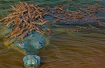 Khoảnh khắc thú vị: Cá sấu bố cõng trăm con trên lưng