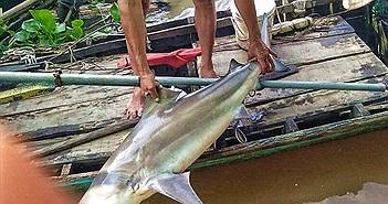 Ngư dân bắt được cá lạ giống cá mập ở trên sông
