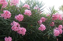Những loại hoa đẹp vô cùng nhưng ẩn chứa chất độc gây chết người