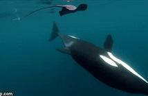 Video: Cá voi sát thủ vung đuôi tát lật mặt cá đuối
