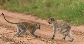 """Khỉ đuôi dài vị thành niên đánh chiến cực """"gắt"""" giữa đường"""