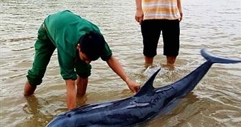 Quảng Nam: Giải cứu cá heo mắc cạn ở biển Cửa Đại