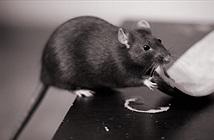 3 bệnh nguy hiểm lây lan từ chuột