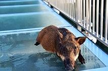 Lợn rừng đi cầu kính, hoảng loạn suýt ngất giống hệt người