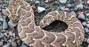 Có nọc độc chết người, rắn phì châu Phi chết thảm vì con cua