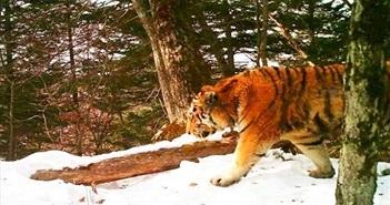 Hổ dữ bị thương, tìm đến đồn biên phòng cầu cứu con người