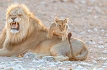 Vua sư tử bất lực khi bị con trai chơi khăm