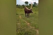 Xôn xao con bò kỳ quái, có 3 chiếc sừng khổng lồ