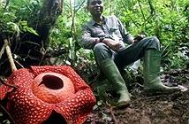 Xôn xao vua hoa xác thối lớn nhất thế giới nở rộ