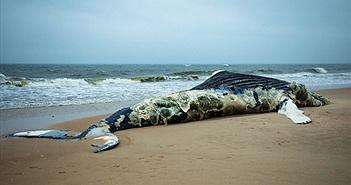 """Chuyện """"sốc"""" đằng sau những xác cá voi khổng lồ nổ tung"""