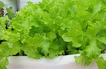 Cách trồng rau xà lách sạch trong thùng xốp