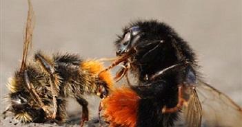Đàn ong đàn áp quyết liệt với đối thủ