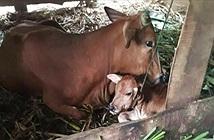 Bò đẻ ra một vật lạ to như đầu trẻ sơ sinh