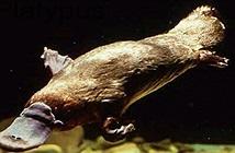 Sự thật bất ngờ về loài thú mỏ vịt