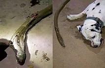 Rơi nước mắt chó đốm quyết tử với rắn hổ mang cứu chủ
