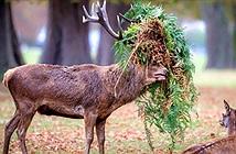 Chú hươu đực làm đỏm với tóc giả bằng lá cây