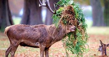 """Chú hươu đực làm đỏm với """"tóc giả"""" bằng lá cây"""