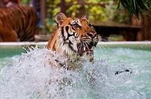 Vườn thú Thái Lan cho hổ ăn kem gà để giải nhiệt