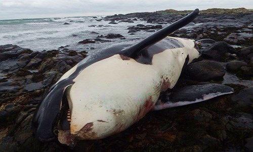 Phát hiện sốc trong xác cá voi sát thủ dạt bờ biển Anh