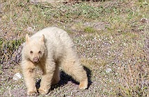 Gấu trắng quý hiếm chẳng khác gì gấu thần linh bỗng xuất hiện