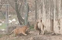 Video: Hổ và sư tử lao vào đại chiến thì bất ngờ xảy ra