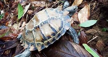 Vườn Quốc gia Bạch Mã tiếp nhận rùa 3 đuôi cực quý