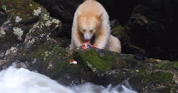 Bất ngờ gấu thần linh xuất hiện, bắt cá chớp nhoáng