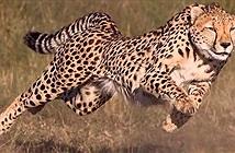 Liều lĩnh xâm phạm địa phận đàn rái cá, báo đốm bị xua đuổi, cong đuôi bỏ chạy