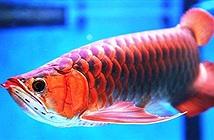 Lóa mắt trước nhan sắc những loài cá cảnh đẹp nhất